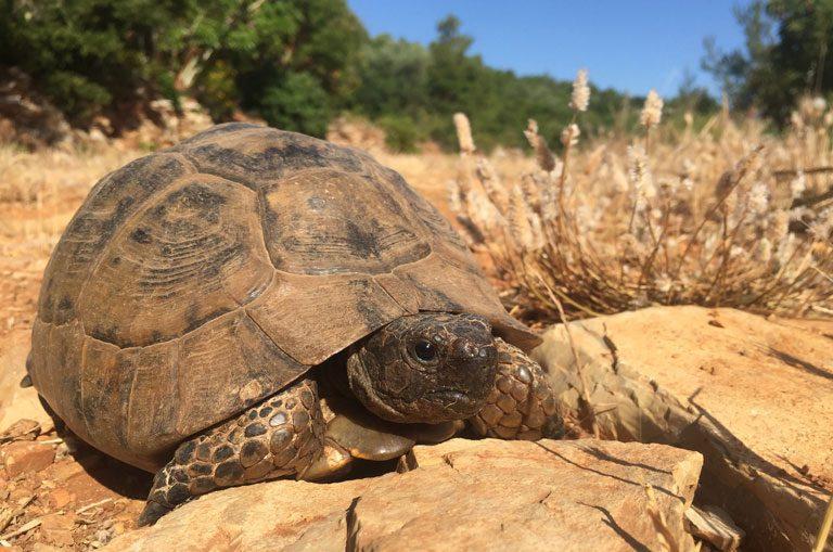 Schiffscharter Griechenland - Landschildkröte